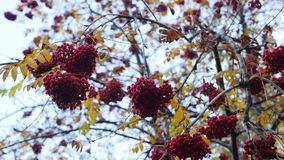 Tree branch with berries of mountain ash Closeup of orange Rowan berries or Mountain Ash tree with ripe berries in. Autumn stock footage