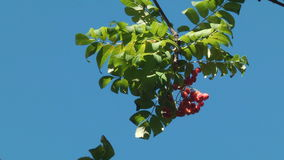 Tree branch with berries of mountain ash stock video footage