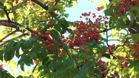 Tree branch with berries of mountain ash stock footage