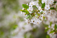 Tree branch in bloom Stock Photos