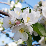 Tree branch in bloom Royalty Free Stock Photo