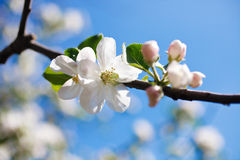 Tree branch in bloom Stock Photo