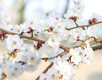 Tree branch in bloom Stock Images