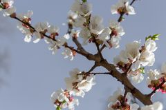 Tree branch with blooming flowers against clear blue sky. Spring blossom concept. White and pink buds and bloominf flowers. Growth concept. Fruit garden stock images