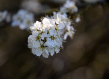 Tree branch blossom macro. Tree branch with white blooms Royalty Free Stock Photo