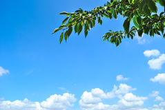 Tree branch and blue sky Stock Image