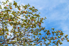 Tree branch on blue sky background. Autumn red and green leaf Stock Image