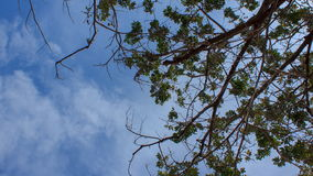 Tree branch with blue sky and cloud stock video