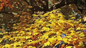 Tree branch with bright yellow colored leaves stock video footage