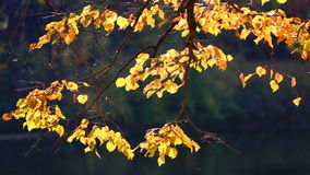 Tree branch with bright yellow foliage stock video