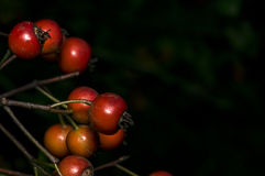 A tree branch with brown berries Royalty Free Stock Photography