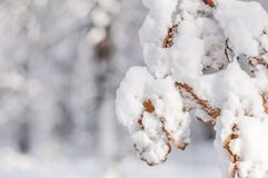 Tree branch and brown leaves covered with lot frosty snow. And blury forest background Stock Photography