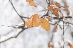 Tree branch with brown leaves covered with snow and forest. Background Royalty Free Stock Photo