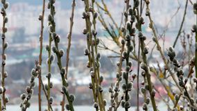 Tree branch with buds background, spring 4k. Video stock footage