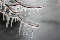 Tree Branch With Buds  Encased in Ice - Icicles. Ice storm coated tree branches and buds with a thick casing of crystal clear ice.  Icicles hang from the Royalty Free Stock Image