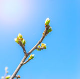 Tree branch with buds in sun beams Stock Image
