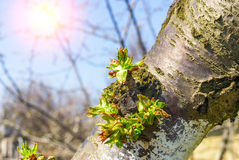 Tree branch with buds in sun beams Stock Images