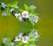 Tree branch with cherry flowers Royalty Free Stock Photo