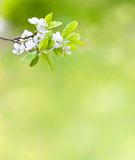 Tree branch with cherry flowers over green Royalty Free Stock Photography