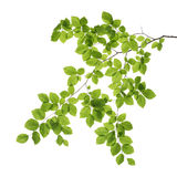 Tree branch. Close up of a tree branch isolated on white background Stock Photos