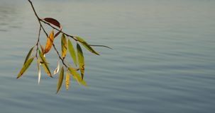Tree branch with colorful autumn leaves over quiet lake water. Sunset stock video footage