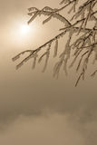 Tree branch covered in frost. With sun in the back Stock Photos