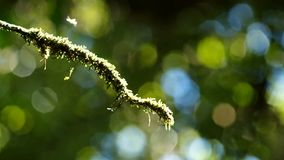 Tree branch covered with moss and the canopy background moving stock footage