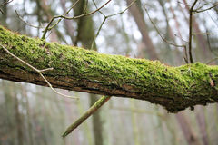 Tree branch covered with moss Stock Photos