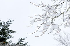 Tree Branch covered in Snow Royalty Free Stock Photo