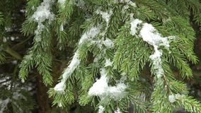 Tree branch covered with snow. Winter tree covered with snow. Tree branch covered with snow stock footage