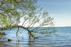 A tree branch dips into lake water stock photography