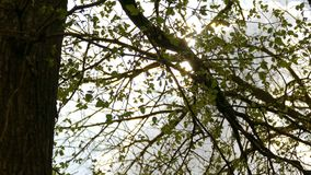 Tree branch elm leaves sun glare sunlight nature spring landscape. Tree  branch elm leaves sun glare sunlight nature spring landscape stock footage