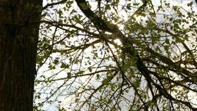 Tree branch elm leaves sun glare sunlight nature spring landscape stock footage