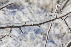 Tree branch engulfed in ice. With blurred background Stock Photography