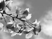 Tree branch in the fall in monochrome. Abstract of a tree branch with light leaves and sky background in monochrome. nature in the fall stock photos