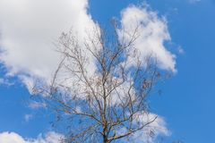 Tree branch of falling leaves empty branch abstract with clear blue sky for background.  stock photography