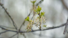 Tree branch with first leaves. First leaves blooming on a tree branch in the spring stock video footage