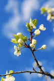 Tree branch with flowers against the sky Stock Photography