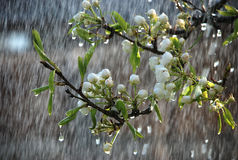 A tree branch with flowers in the rain Stock Images