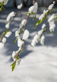 Tree branch in the foreground against the white snow. Royalty Free Stock Images