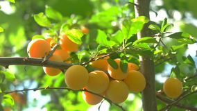 Tree branch with fruits. Leaves and sunshine. Crop of cherry plums. Grown without use of pesticides stock video footage