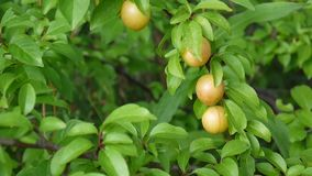 Tree branch with fruits. Leaves and sunshine.Yellow plums on the branch. Video footage static camera stock footage