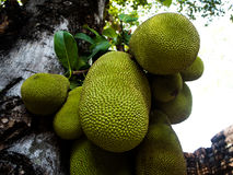 The tree branch full of jack fruits Royalty Free Stock Images