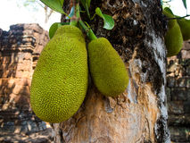 The tree branch full of jack fruits Royalty Free Stock Photography