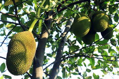 A tree branch full of jack fruits. Royalty Free Stock Photo