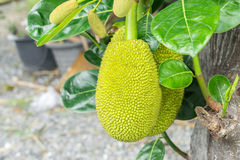 A tree branch full of jack fruits Stock Image