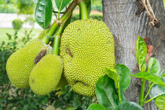 A tree branch full of jack fruits Royalty Free Stock Photos