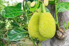 A tree branch full of jack fruits Stock Photo