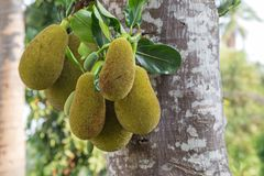 Tree branch full of jackfruits Stock Photo