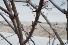 Tree branch full of sharp and menacing thorns. Stock Photography